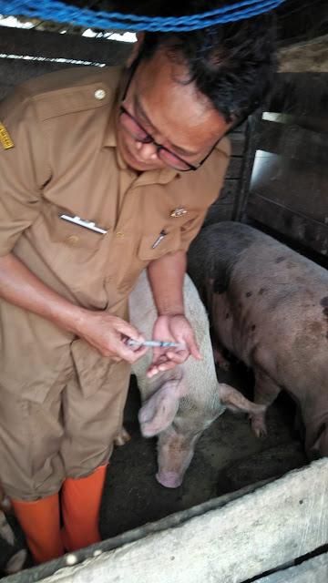 Peternakan Taput Lakukan Pencegahan dan Pengobatan Ternak Babi Dari Virus Cholera