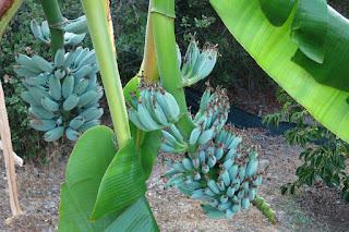 bibit pisang blue java atau pisang kepok awu, bibit pisang kepok awu, bibit pisang blue java