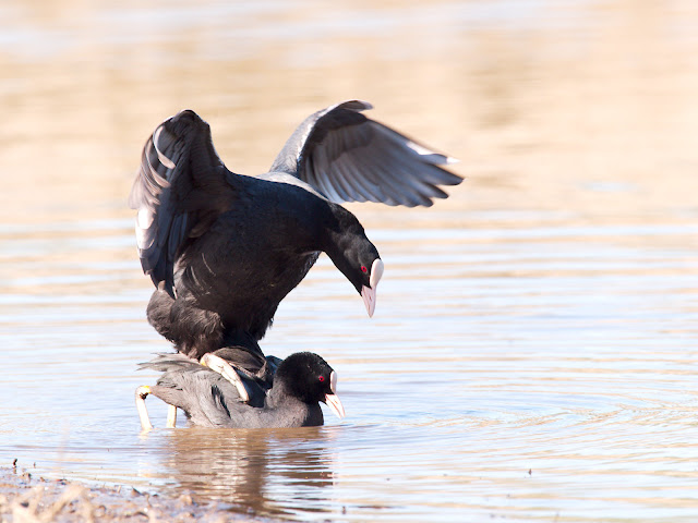 Blässhühner bei der Paarung