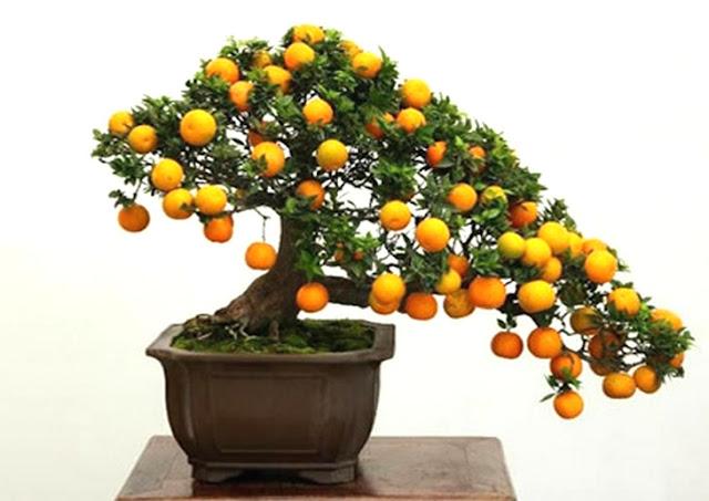 Bonsai de frutas laranjeira