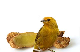 Khasiat Kencur Untuk Burung