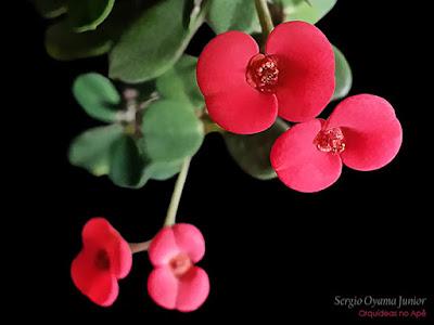 Suculenta Euphorbia milii