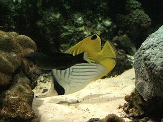 Poisson papillon à queue jaune - Chaetodon auriga - Papillon cocher