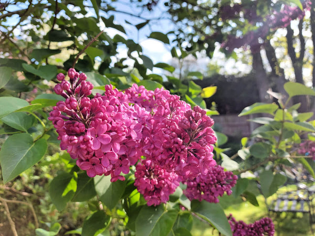Pink lilac flower