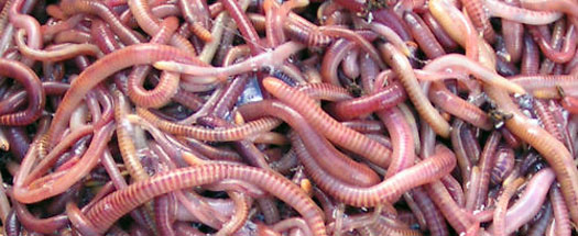 writhing earthworms