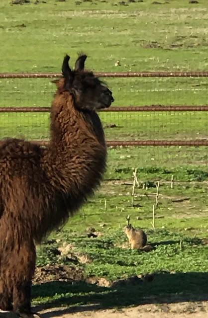 Llama ground squirrel control