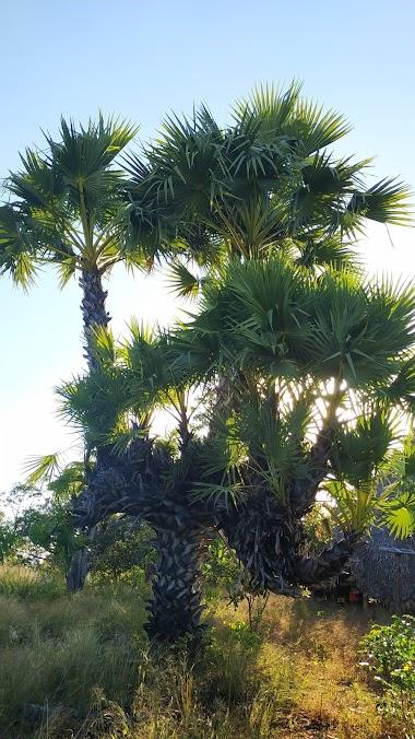 Pohon LONTAR Bercabang Banyak Ada di SABU RAIJUA