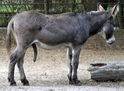 donkey penisa i jedna dziewczyna)