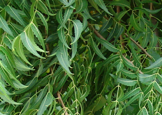 Pokok Halau Nyamuk