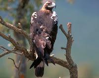 Spanish Imperial Eagle, Spain National Bird  Ministerio de Medio Ambiente, June 2007