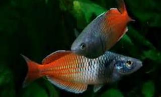 ikan rainbow atau ikan pelangi merupakan salah satu ikan orisinil Indonesia Kabar Terbaru- BUDIDAYA IKAN RAIBOW