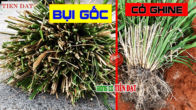 Gốc cỏ ghine và kỹ thuật trồng hom gốc