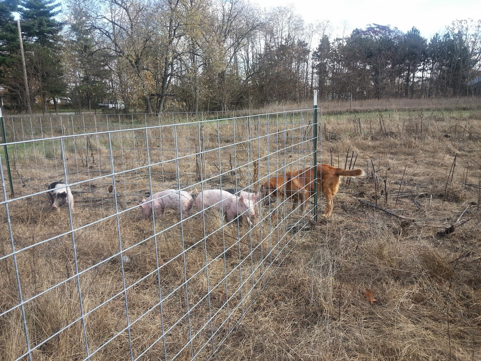 our simple farm how to raise feeder pigs