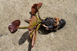 睡蓮の根を切ったところ
