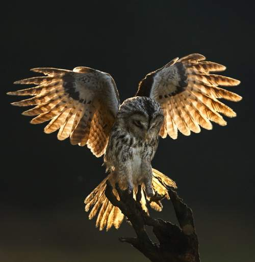 Birds of India - Photo of Tawny owl - Strix aluco