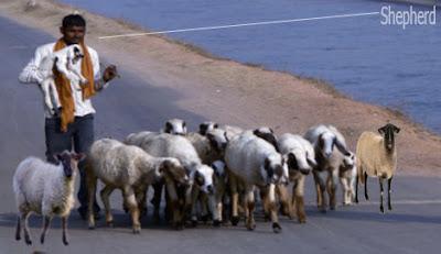 shepherd occupation