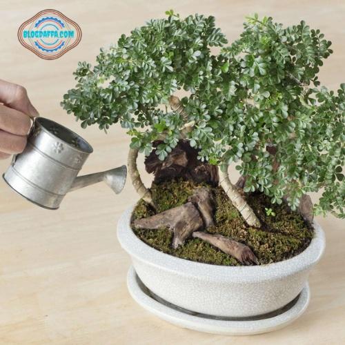 Waktu menyiram bonsai