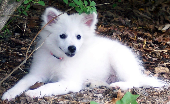 Eskimo Puppy