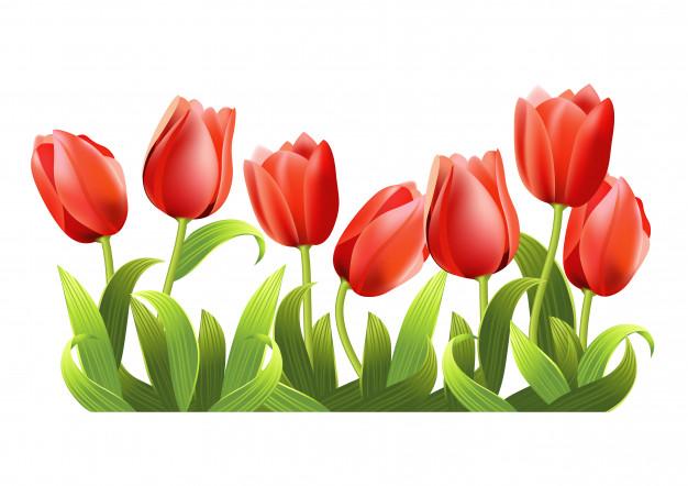 Maggio il tulipano