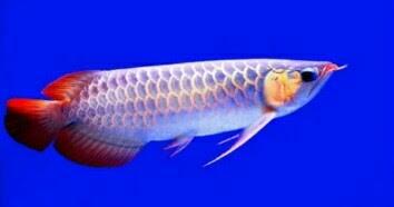 No 1 5 3 Milyar Inilah 10 Jenis Ikan Arwana Termahal Di Dunia Jejaksemut