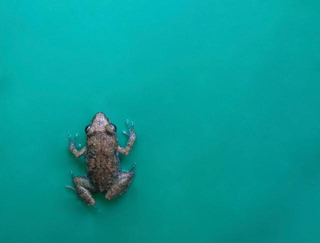 Tiny greenhouse frog