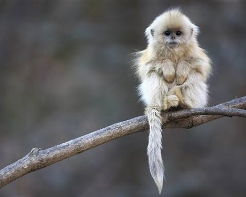 Khỉ con