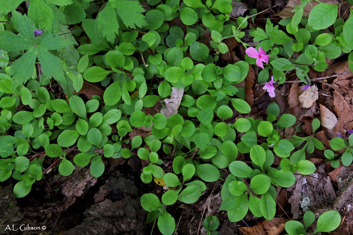 The Buckeye Botanist: Plant Quiz Solved: Creeping Phlox ...