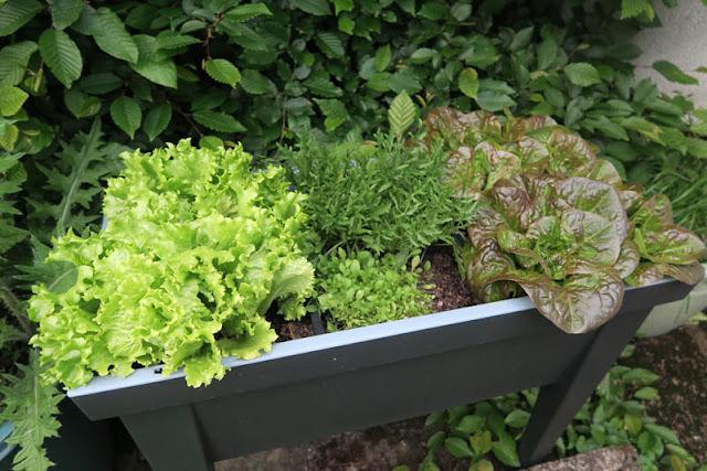 Mini-Hochbeet mit Batavia, Rucola, Romana | pastasciutta.de