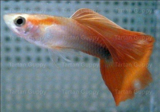 Jenis Ikan Hias dan Harganya Guppy