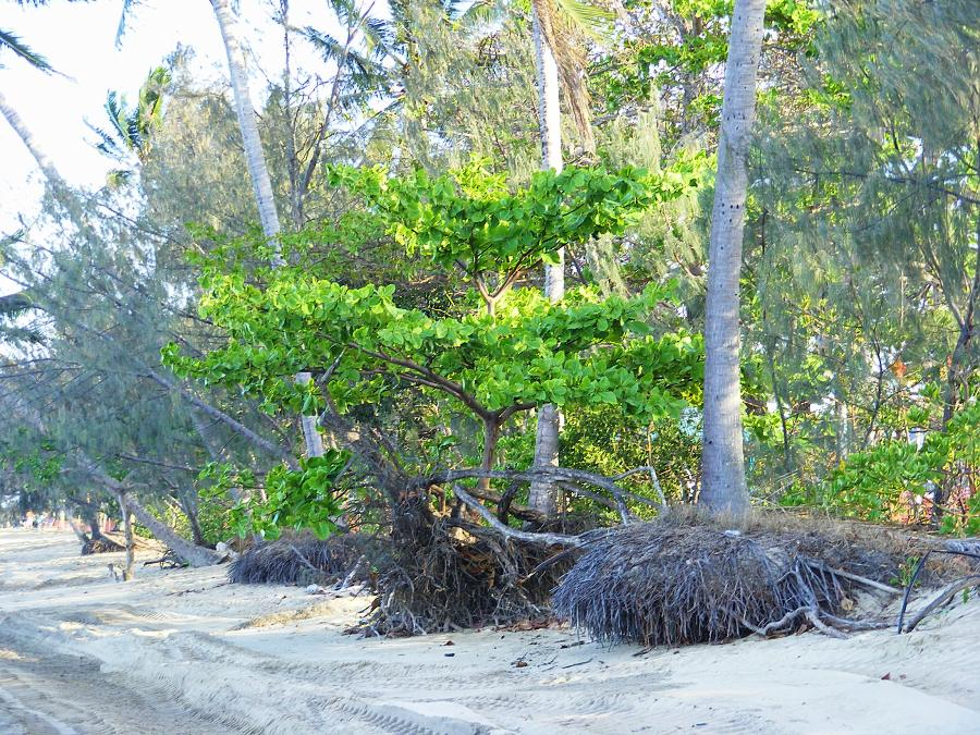 trees beach erosion scarp