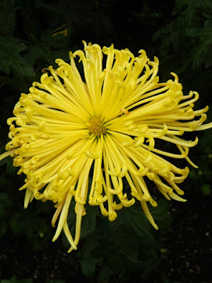 Yellow spider chrysanthemum at 2016 Allan Gardens Conservatory  Fall Chrysanthemum Show by garden muses-not another Toronto gardening blog