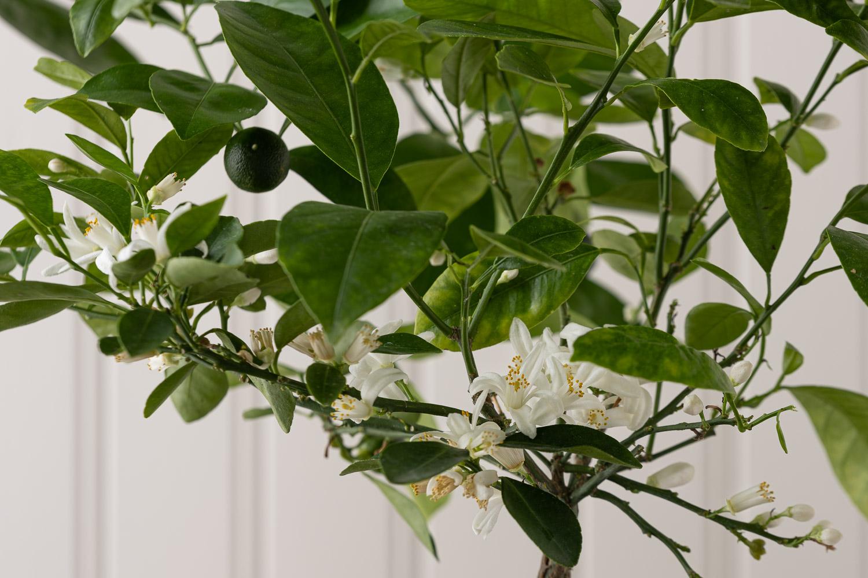 kalamondiini, välimerellinen pikkupuu