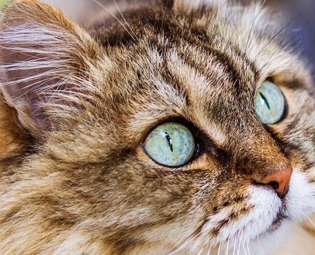 Bengal Siberian Cat Mix Personality, Size, Lifespan, Price