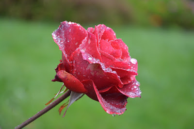 most beautiful flower pictures