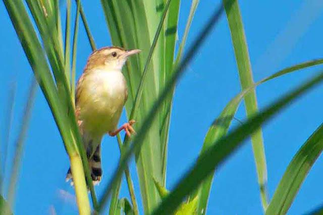 bird, Streaked Fantail Warbler, Cisticola juncidis, Okinawa