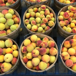 PYO Peaches _Carlson Orchards Harvard MA_New England Fall Events