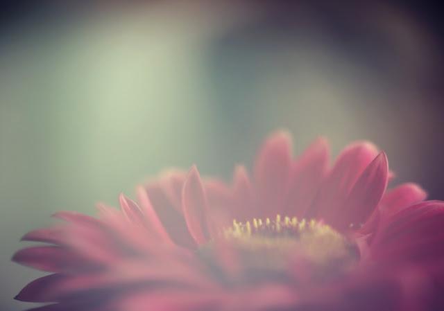 freelensing_gerber_daisy_flowers