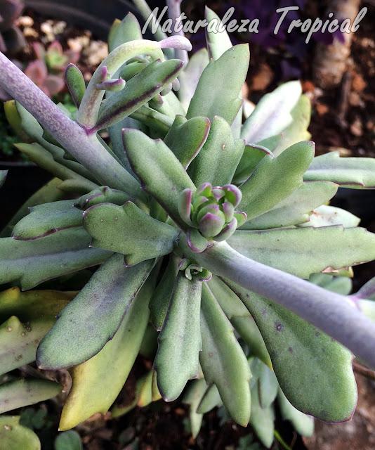 Inflorescencia formándose en la planta Senecio Coral, Senecio fulgens
