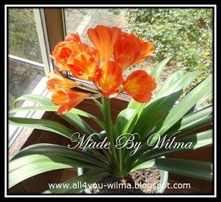 Foto van een Clivia in bloei. Photo of a Clivia in bloom.