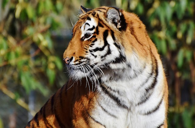 The story of the indian tiger
