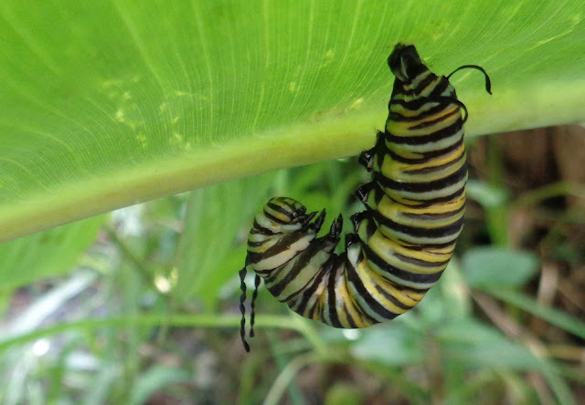 Monarch caterpillar preparing to form chrysalis
