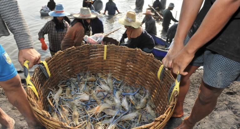 shrimp industry in bd