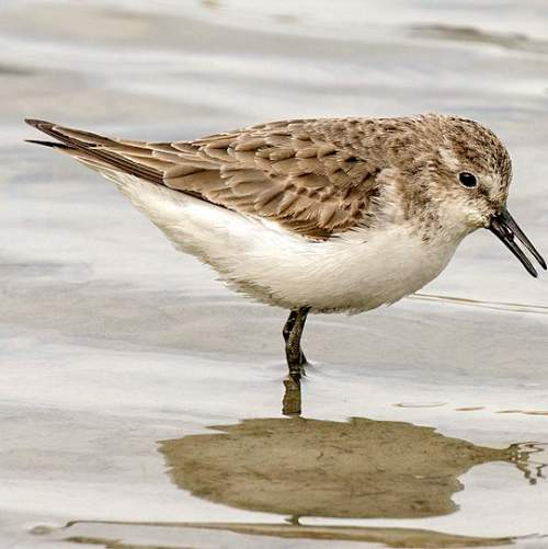 Image of Calidris minuta by Zeynel Cebeci