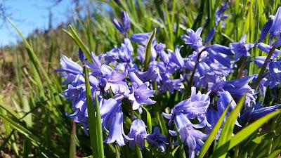 Purple Spanish Bluebells