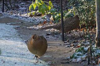 wildlife, birds, pheasants,