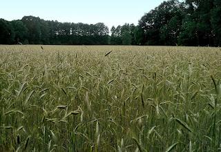 ¿Cómo reconocer los campos de cereales? (Desde lejos): Centeno