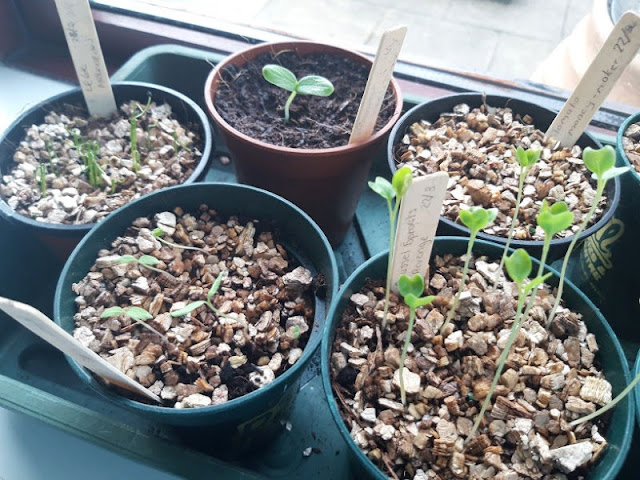 Image shows a green seed tray containing some pots of seedlings.  The seedlings are showing through in four of the pots