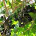 Karakteristik Tanaman Jengkol (Pithecellobium jiringa.) Tumbuhan Pohon Dengan Bau Buah Yang Khas