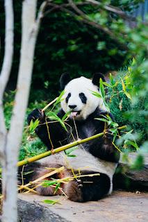 A cute panda eating bamboo