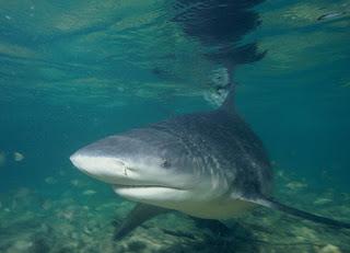 Bull Shark قرش الثور